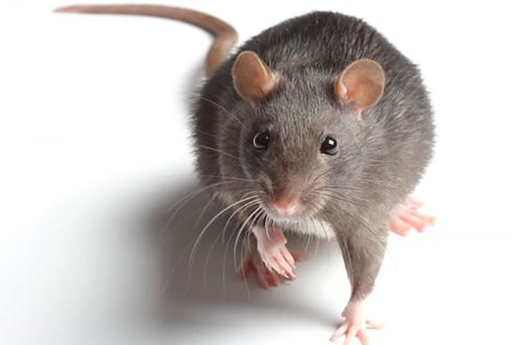 Leptospirosis: Beware of Rats!